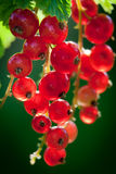 Closeup redcurrant Royalty Free Stock Images