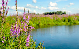 Closeup of reddish purple flowering Purple Loosestrife plants. Purple Loosestrife or Lythrum salicaria plants brightly blossoming on the banks of a small lake Stock Photo
