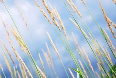Closeup reed of background Stock Photos