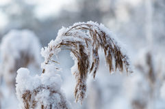 Closeup on reed covered by snow Royalty Free Stock Photo