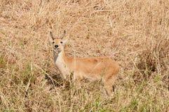 Closeup of a male Reedbuck. Closeup of Reedbuck scientific name: Redunca redunca, or `Tohe ndope` in Swaheli in the Tarangire National park, Tanzania Royalty Free Stock Photo