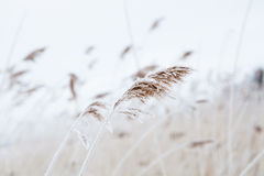 Reeds in winter Royalty Free Stock Images