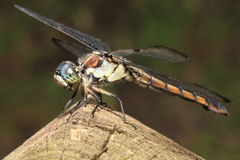 Closeup of Regal Darner Dragonfly Stock Images