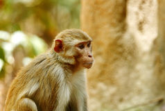 Closeup of Rehsus Macaque Royalty Free Stock Image