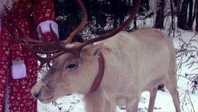 Closeup reindeer head with big antlers, Santa Claus. Holding reins stock video