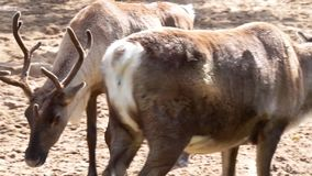 Closeup of a reindeer standing at the water side then walking past another reindeer, tropical animal specie from America. A Closeup of a reindeer standing at the stock video footage