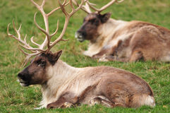 Closeup of reindeers Stock Photos