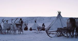 Closeup reindeers in the middle of yurts camp in Siberia , snowy day. Slow motions stock footage