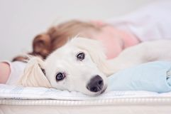 A closeup of a relaxed dog, little cute white saluki puppy persian greyhound together with a young girl who owns the pet. A. Tired teenager is resting blurry on royalty free stock photo