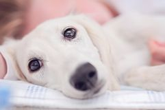 A closeup of a relaxed dog, little cute white saluki puppy persian greyhound together with a young girl who owns the pet. A. Tired teenager is resting blurry on stock photography