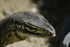 Reptile head in the sun royalty free stock photo