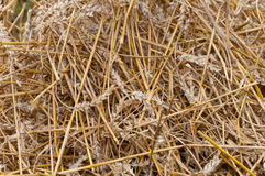 Closeup of residual straw after grain processing. Closeup of residual straw at the field after processing of the grain by the thresher Royalty Free Stock Photos