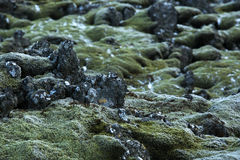 Closeup of resistant moss on volcanic rocks in Iceland Stock Photos