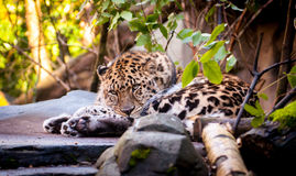 Closeup of resting leopard. A leopard finds its resting place stock photos