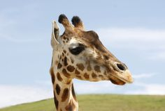 Closeup of a Reticulata Giraffe Royalty Free Stock Photos