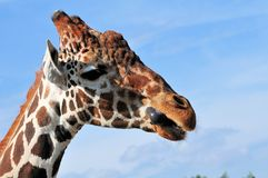 Closeup of a Reticulated Giraffe Stock Photography