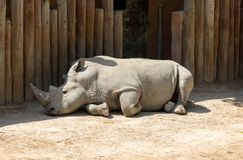 Rhinoceros resting in the shadow of the wooden fence. stock image