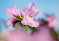 Closeup on rhododendron flower Royalty Free Stock Photo