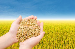 Closeup rice on child hand Royalty Free Stock Images