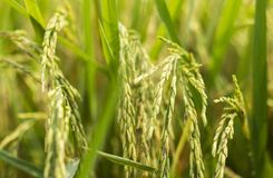 Closeup of rice ear in rice field in asia. It is the staple food in Asia.  stock photography