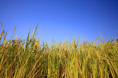 Closeup rice ear on plantation Stock Photo
