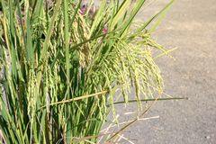 Closeup of rice ear on road.  royalty free stock photo