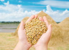 Closeup rice on farmer hand Royalty Free Stock Photos