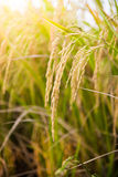 Closeup of Rice field Stock Photography