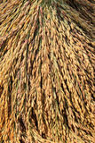 Closeup of rice paddy Royalty Free Stock Image