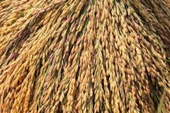 Closeup of rice paddy Stock Photo
