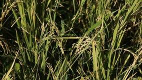 Closeup of rice on plantation stock video