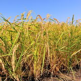 Closeup of rice on plantation Stock Photography