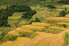 Closeup of rice terrace field Royalty Free Stock Photography