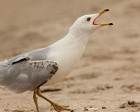 Closeup of Ring-billed Gull Calling Royalty Free Stock Images