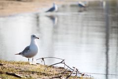 Ring-billed Gull Closeup Stock Images