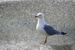 Closeup of a Ring-Billed Gull walking on ice royalty free stock photos