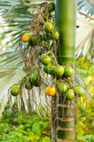 Closeup ripe areca nut or Areca catechu, raw betel nut Stock Photography