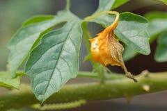 Closeup ripe balsam apple on branch. Stock Photo