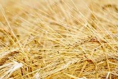 Closeup of ripe barley Royalty Free Stock Photo