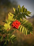 Closeup of ripe berries of Sorbus aucuparia. Also called rowan or mountain ash Stock Photo