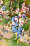 Closeup of ripe blueberries on blueberry bush Stock Photos