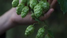 Closeup of ripe cones of hops on the field, video is blocked in real time, female hands examine hop cones, sorting stock video footage