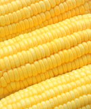 Closeup ripe corn Royalty Free Stock Photography