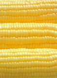 Closeup ripe corn Royalty Free Stock Image