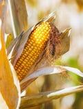 Closeup ripe corn Stock Photo