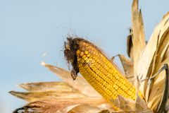 Closeup ripe Ear of Maize or corn on the stem ready for harvest. Zea mays. Agricultural concept Royalty Free Stock Image