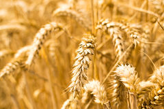 Closeup of Ripe Golden Grain Royalty Free Stock Images