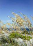 Ripe Sea Oats in Summer at Florida Beach royalty free stock photos