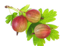 Closeup of ripe gooseberry with leaf. Stock Photography