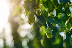 Closeup of ripe hop cones in the field Stock Image